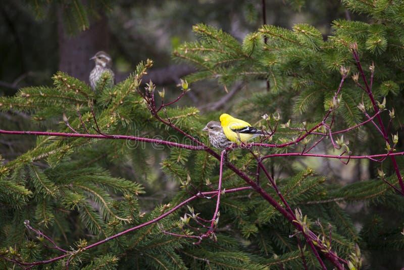 被看见的微小的公美国金翅雀在它充满活力的黄色春天全身羽毛栖息 图库摄影