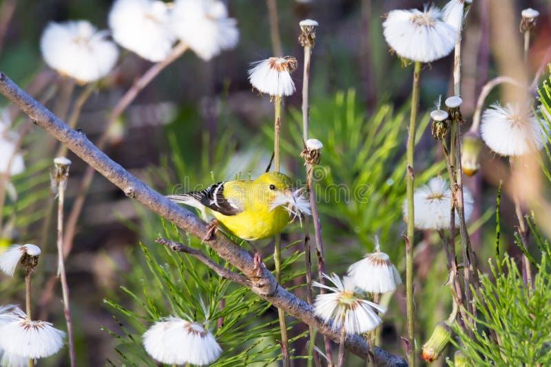 被看见的美国金翅雀在它有额嘴的充满活力的黄色春天全身羽毛充分栖息蒲公英种子 免版税库存图片