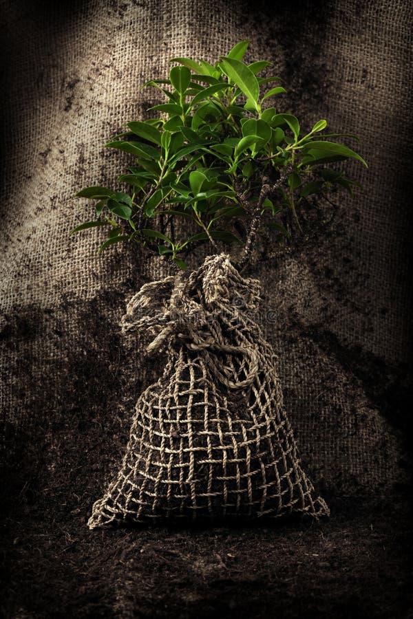 被种植的准备好对结构树 库存照片