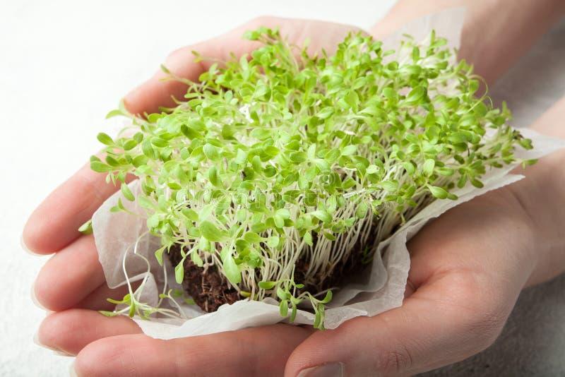 被种植的家庭微型绿的莴苣在手上,特写镜头 库存照片