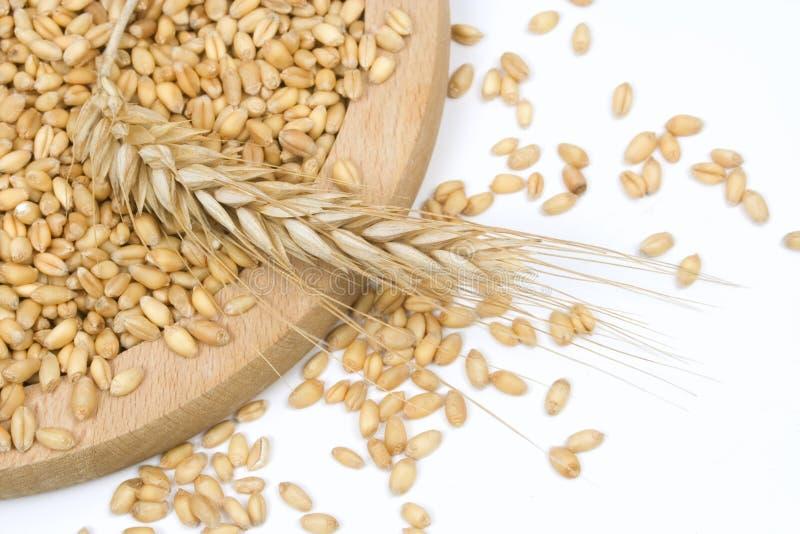 被种植的有机麦子 免版税库存图片