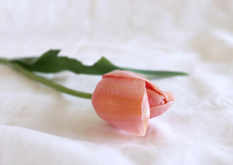 被称呼的储蓄照片 春天女性场面,花卉构成 在白色背景的美丽的郁金香 平的位置,顶视图 空的空间 免版税库存照片