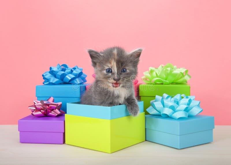 被稀释的tortie小猫流行在生日礼物箱子外面 库存照片