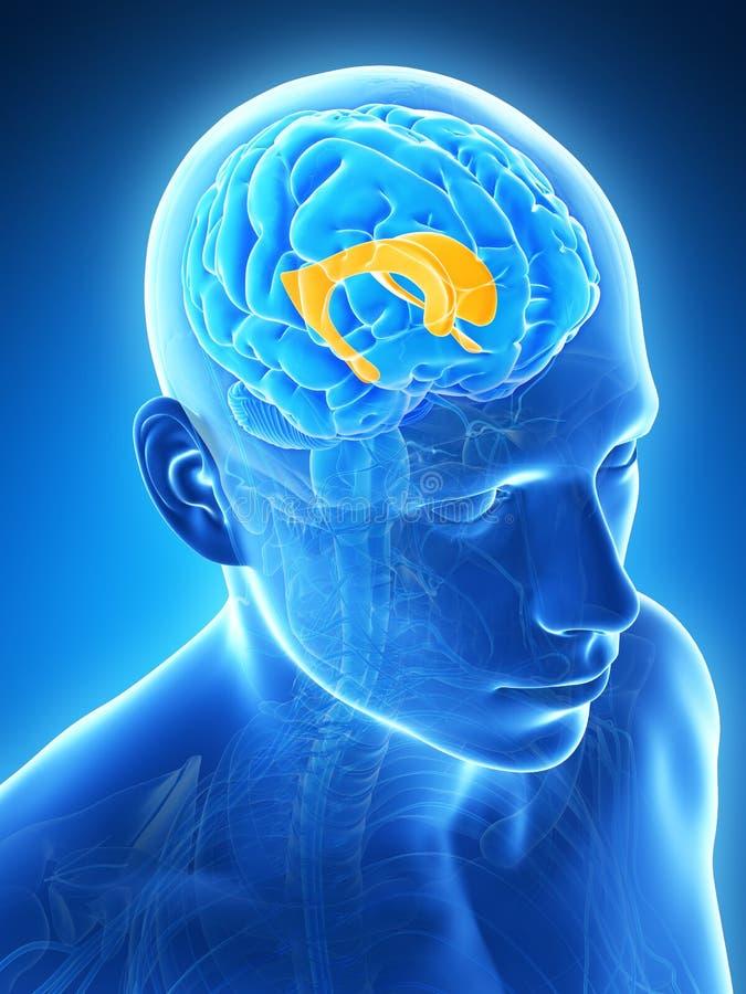 被突出的侧脑室 库存例证