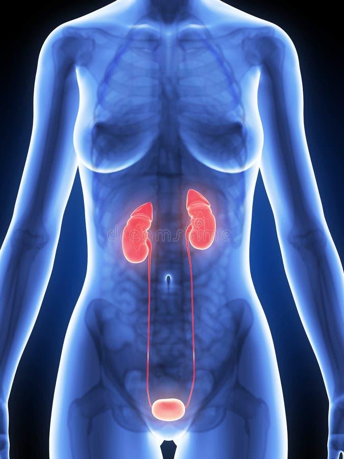 被突出的女性肾脏 库存例证