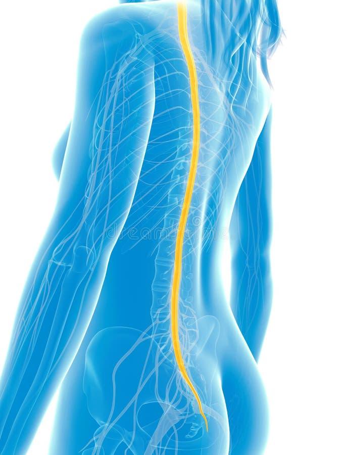 被突出的脊髓 库存例证
