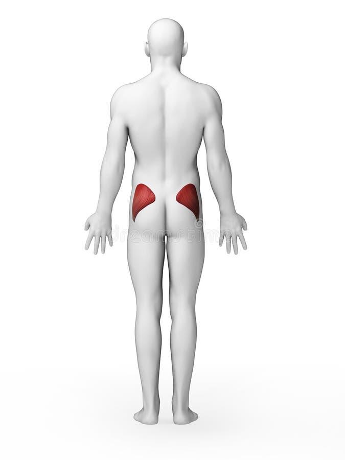 被突出的臀肌maximus 向量例证