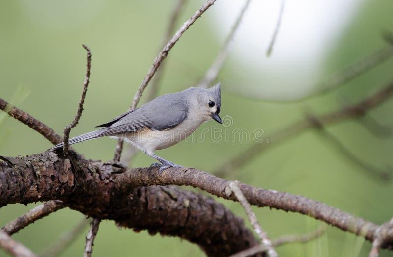 被簇生的鸟北美山雀 库存图片