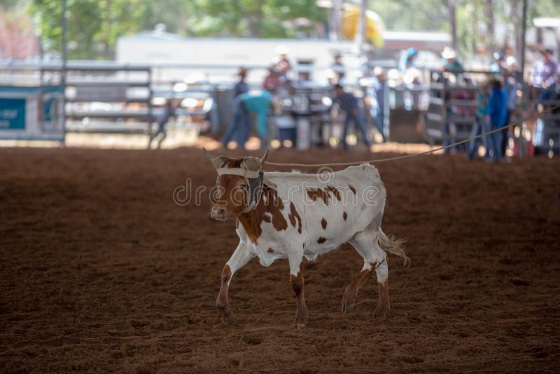 被系住在圈地的小牛 免版税库存图片