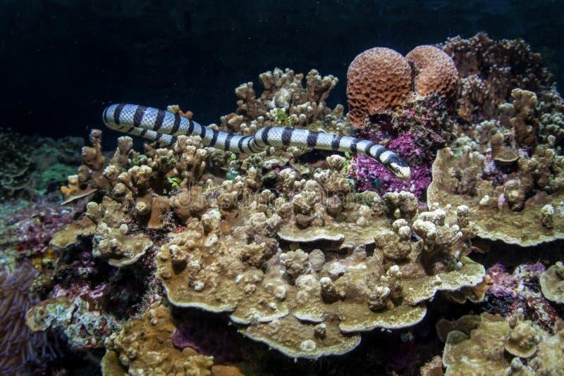 被结合的海游泳在礁石的Krait 免版税库存照片