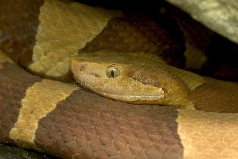 被结合的清楚的copperhead响尾蛇 库存图片