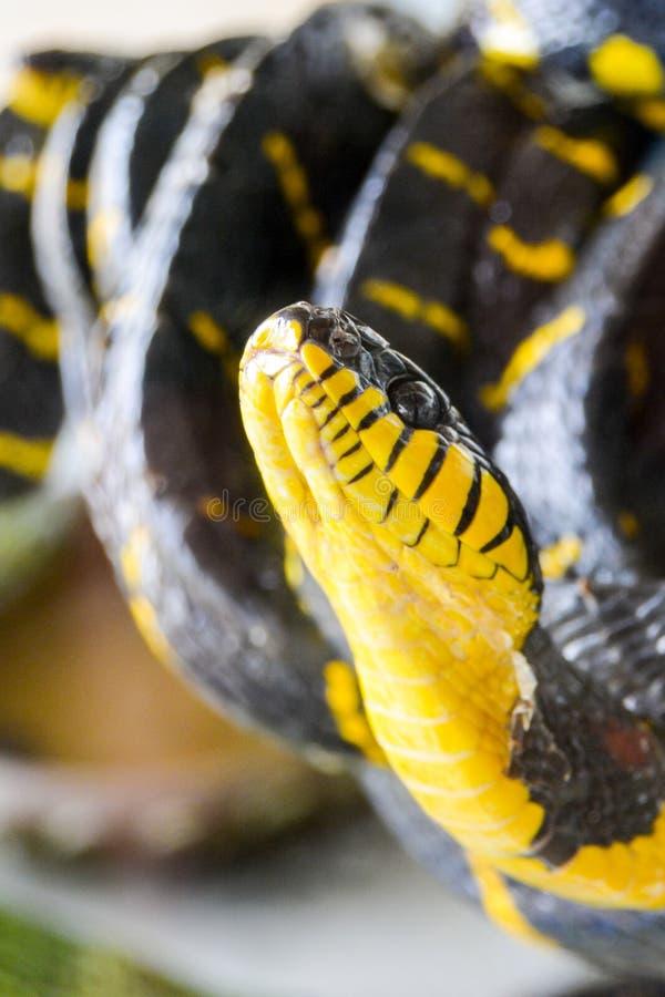 被结合的美洲红树蛇Boiga dendrophila melanota 免版税图库摄影