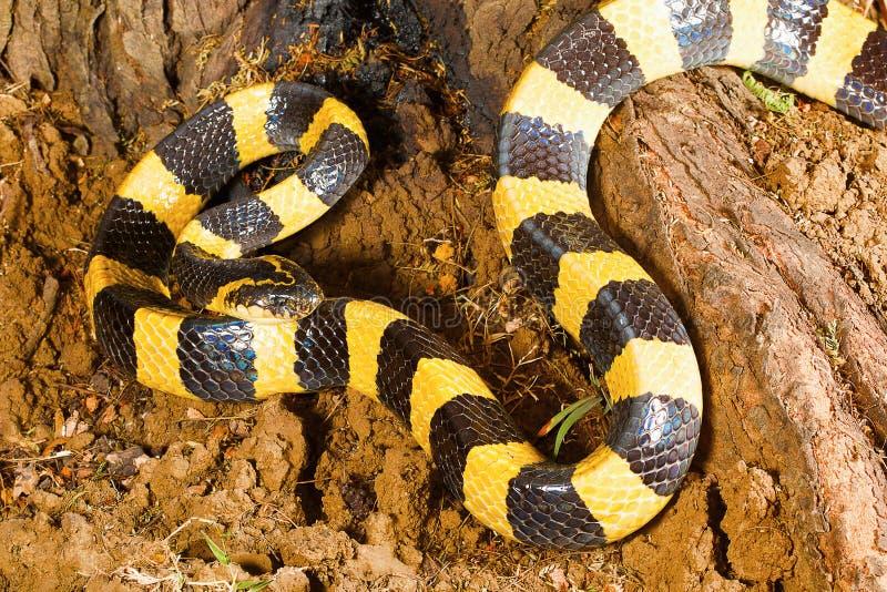 被结合的krait,泰卢固环蛇fasciatus,赖普尔, Chhattisharg 免版税库存照片