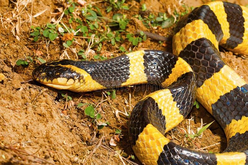 被结合的krait,泰卢固环蛇fasciatus,赖普尔, Chhattisharg 库存照片