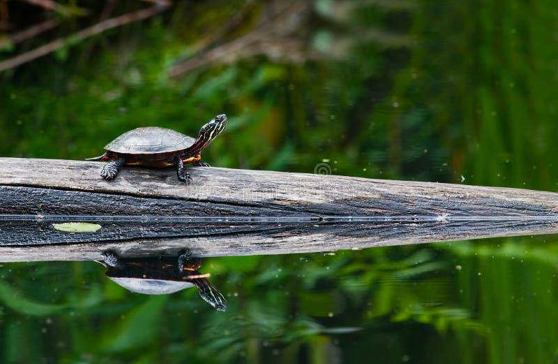 被绘的乌龟 免版税库存照片