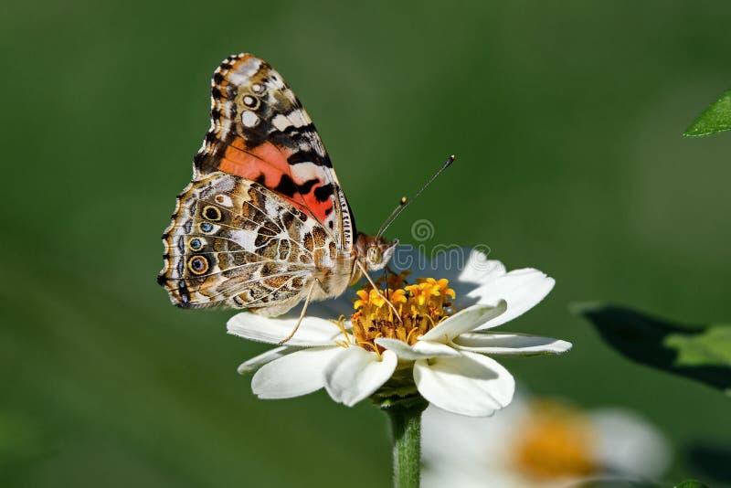 被绘的夫人或Vanessa cardui在白色百日菊属花的一只知名的五颜六色的蝴蝶 免版税图库摄影