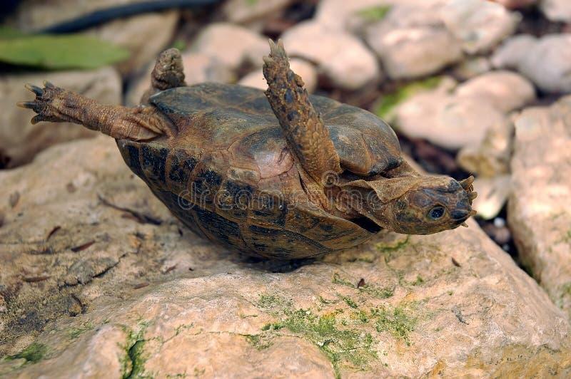 被翻转的乌龟 库存图片