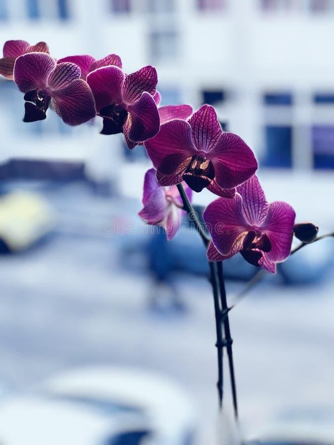 被聚焦的紫色兰花美丽的景色  库存照片
