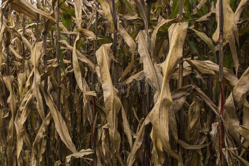 被脱水的玉米 免版税库存图片
