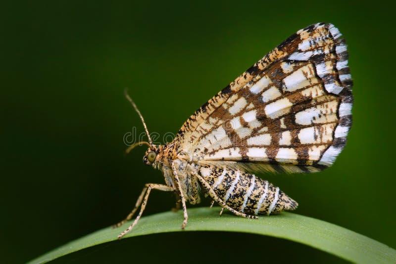 被装饰的荒地, Chiasmia clathrata,是家庭尽蛾科的飞蛾 美丽的nigt蝴蝶坐绿草事假 图库摄影