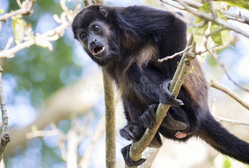 被覆盖的吼猴,哥斯达黎加 库存图片