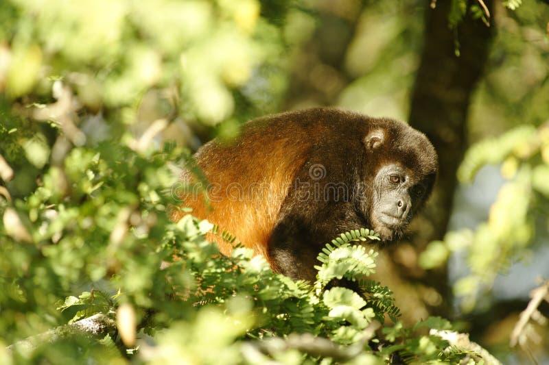 被覆盖的吼猴,哥斯达黎加 图库摄影