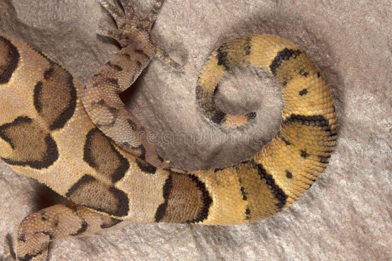 被覆盖的地面壁虎, Geckoella nebulosa,守宫科,中央邦 免版税库存照片