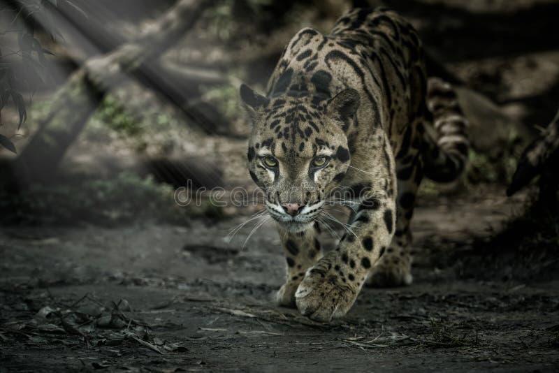 被覆盖的豹子走往从阴影到光 免版税库存照片