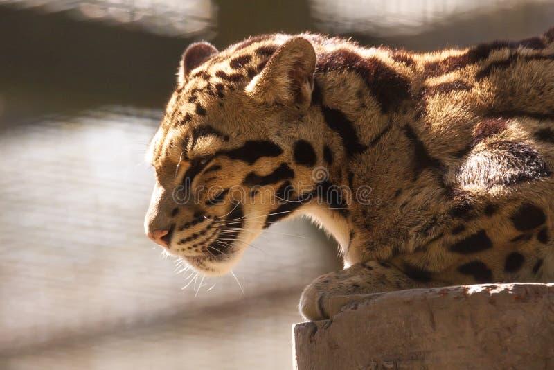 被覆盖的豹子, Neofelis nebulosa,是最小的豹子 免版税图库摄影