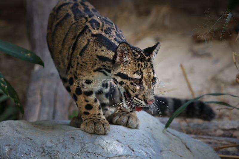 被覆盖的豹子 免版税图库摄影