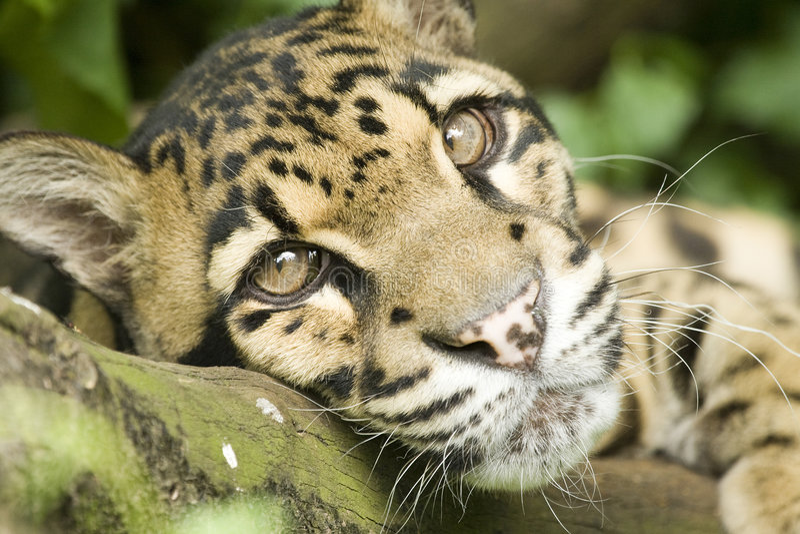 被覆盖的豹子 图库摄影