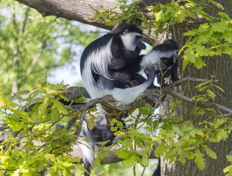被覆盖的guereza猴子也命名了与她的婴孩的Colobus guereza一点猴子坐树枝,自然阳光 库存照片