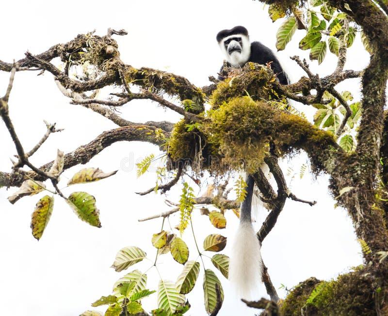 被覆盖的guereza猴子在Harenna森林里 库存图片