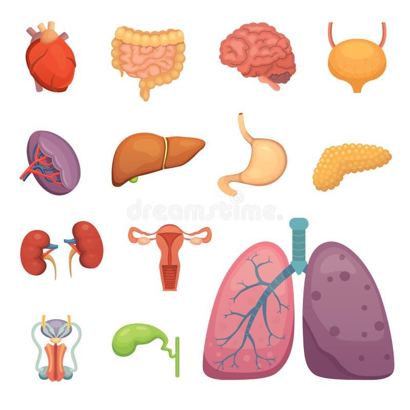 被设置的动画片人体器官 身体解剖学  生殖系,肺,脑子例证 库存例证