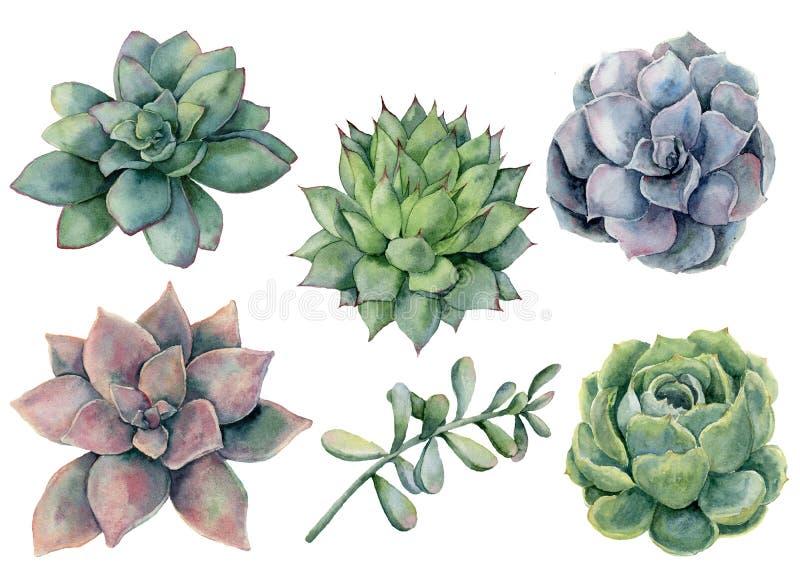 被设置的水彩多汁植物 在白色背景隔绝的手画绿色,紫罗兰色,桃红色仙人掌 植物的illustratio 向量例证