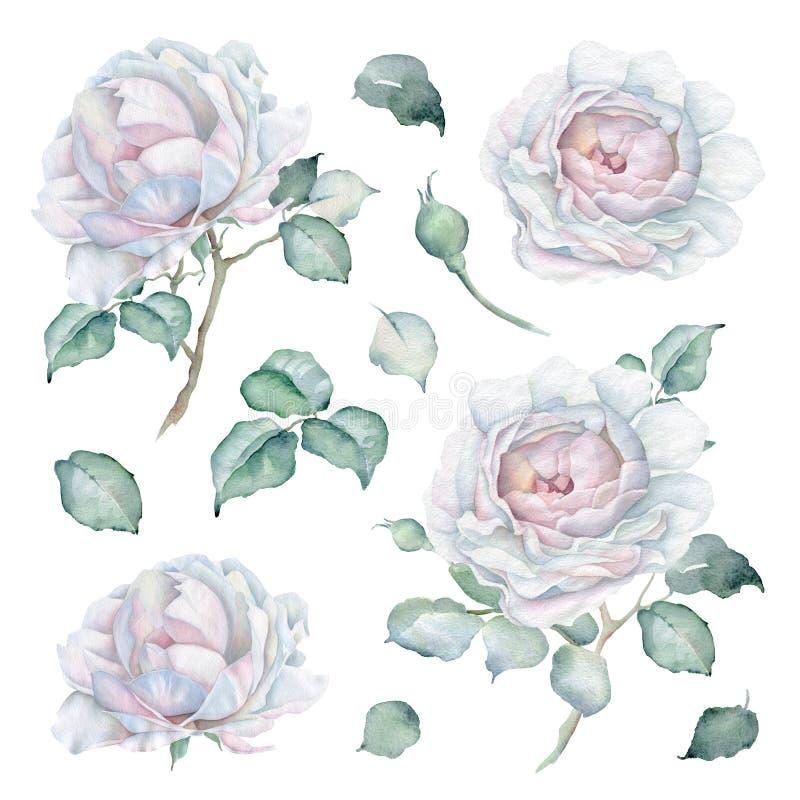 被设置的水彩玫瑰 花、芽和叶子 皇族释放例证