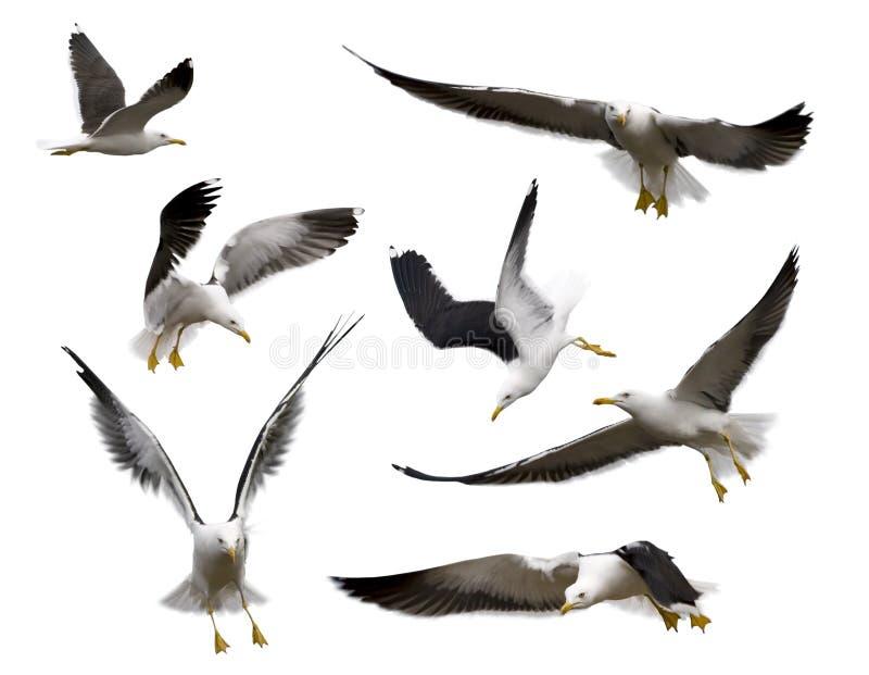 被设置的海鸥 免版税库存图片