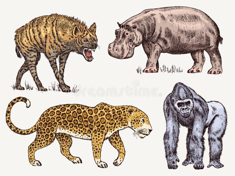 被设置的非洲动物 河马豹子鬣狗西部大猩猩 被刻记的手拉的葡萄酒老单色徒步旅行队 向量例证