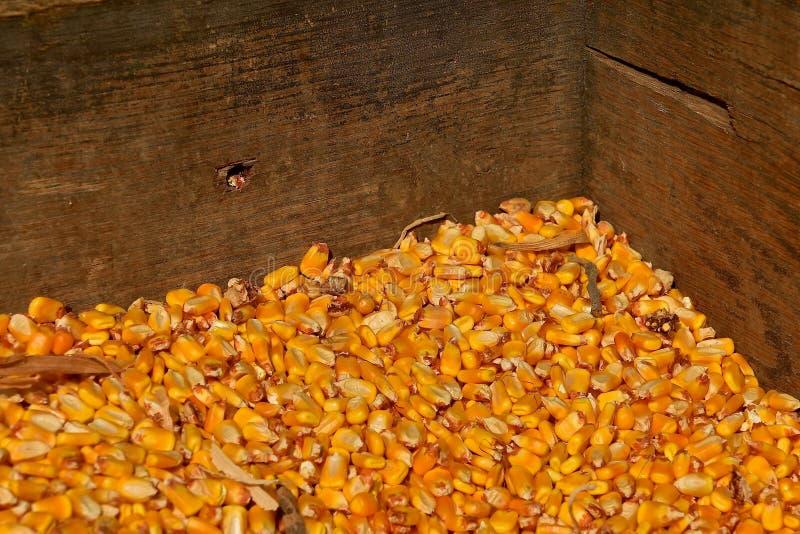 被轰击的玉米CBin  免版税库存照片