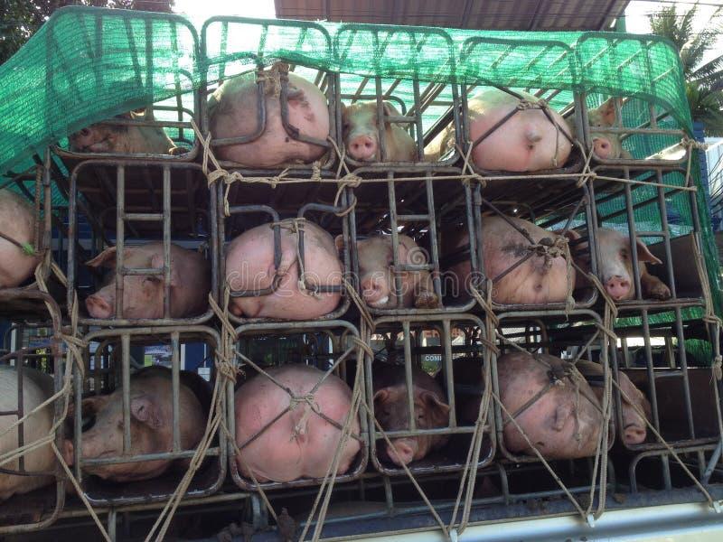 被运输的猪 免版税库存图片