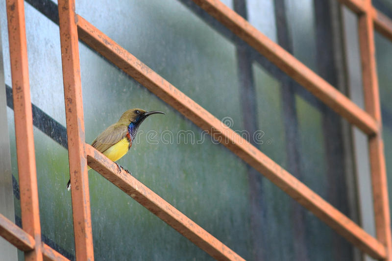 被返回的橄榄色sunbird 免版税库存图片