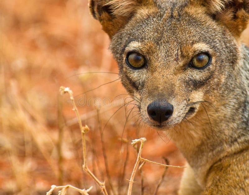 被返回的黑眼睛狐狼 免版税库存图片
