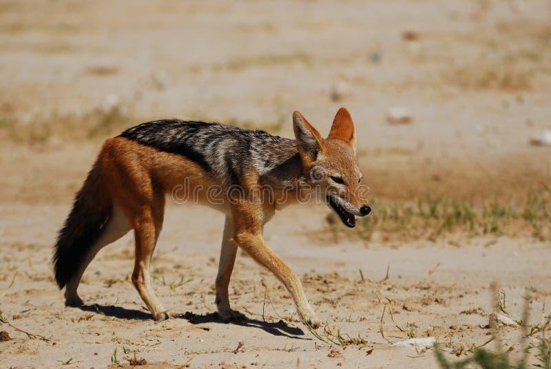 被返回的黑色犬属狐狼mesomelas 免版税库存图片