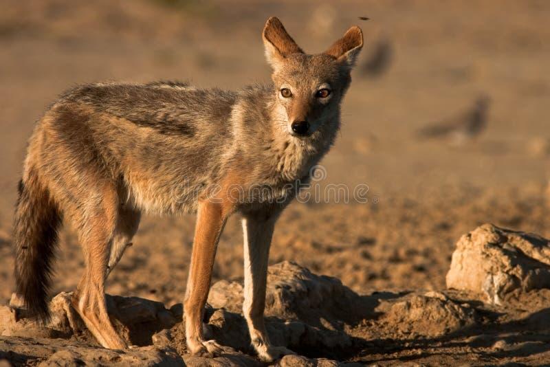 被返回的黑色狐狼 免版税图库摄影