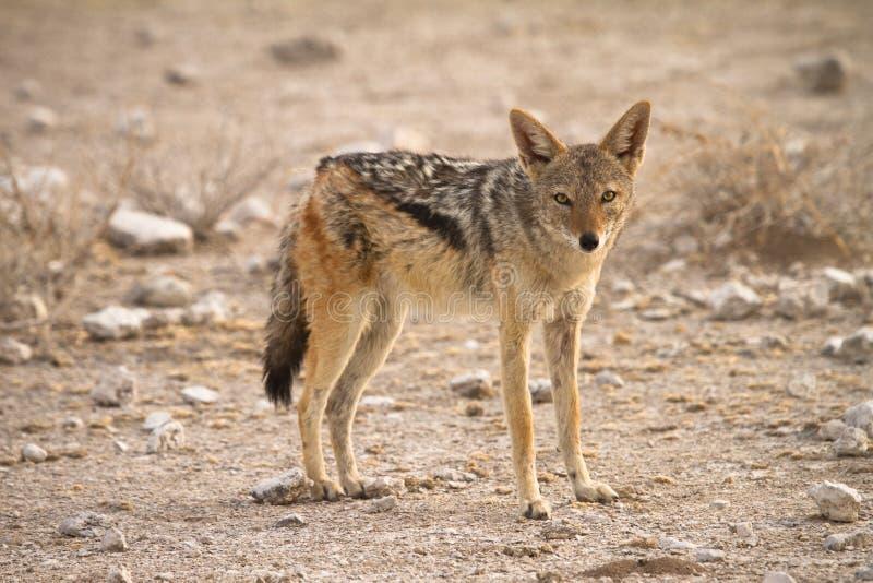 被返回的黑色狐狼 免版税库存照片
