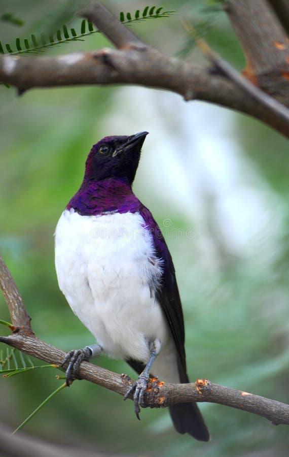 被返回的starling的紫罗兰 免版税图库摄影