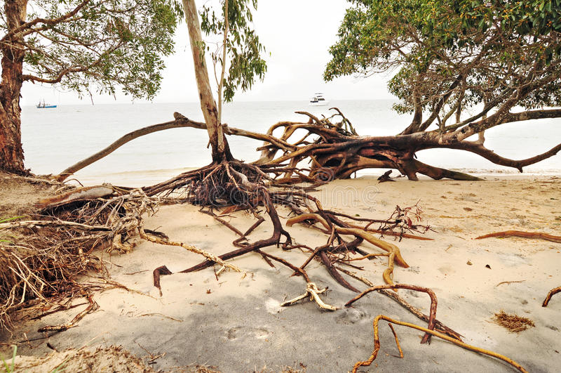 被连根拔的树和海滩侵蚀在热带气旋以后击中海岛 免版税库存图片