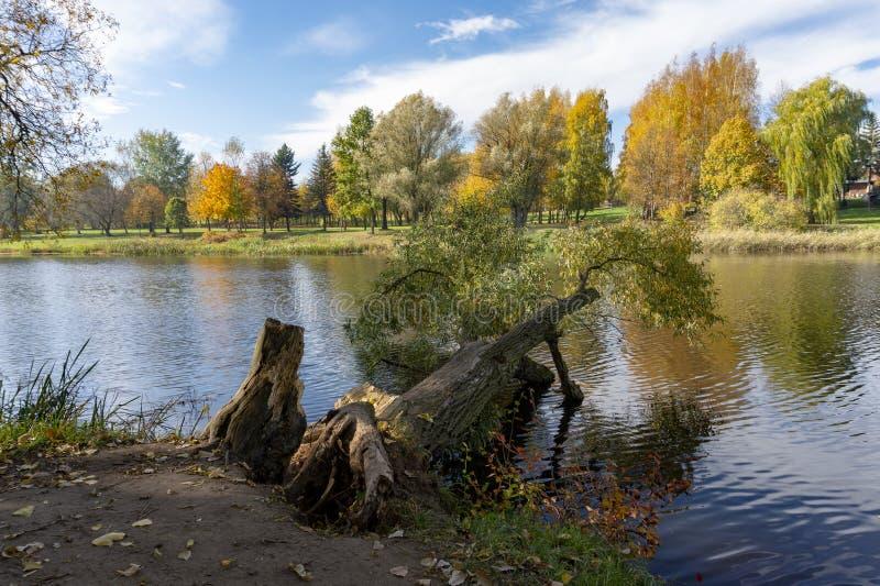 被连根拔的树在一条农村湖或河在秋天 库存图片