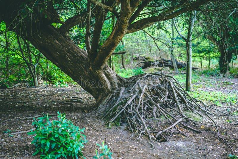 被连根拔的树在显示根的森林里 图库摄影