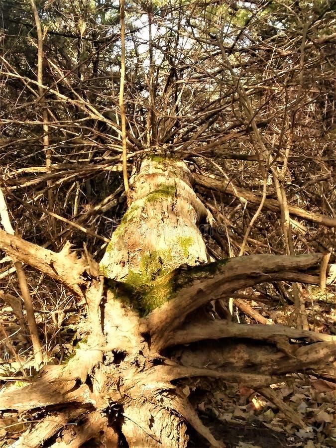 被连根拔的结构树 图库摄影
